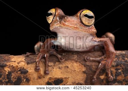 tropical tree frog with big eyes on branch in Amazon rain forest. Exotic jungle animal macro. This amphibian Hypsiboas calcaratus at night in the jungle of Brazil. Beautiful nocturnal animal.