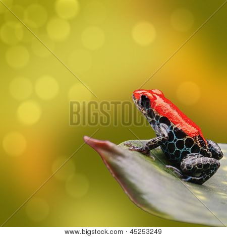red poison dart frog Ranitomeya reticulata from tropical Amazon rain forest of Peru. Beautiful exotic amphibian often kept as exotic pet. Vibrant nature background with copy space