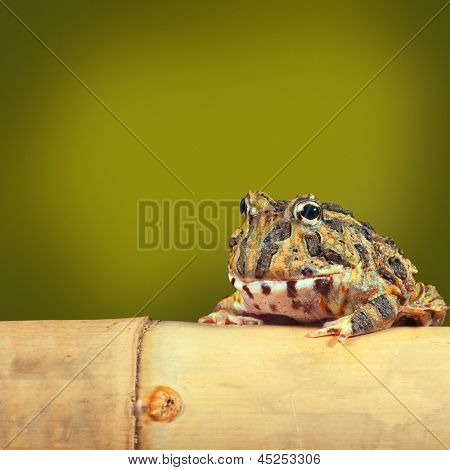 Pacman frog or toad, South American horned frogs Ceratophrys ornata Tropical rain forest animal living in Amazon rainforest of Brazil Argentina  paraguay exotic pet animal green background copyspace