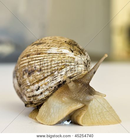 The Giant Snail Achatina - Instance Of 25 Centimeters