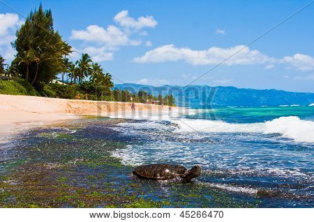 Turtle enjoying the sunshine in the beach in Oahu,Hawaii