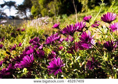 Purple Wildflowers Blooming along the Highway