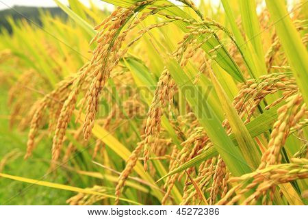Golden Rice In The Farm