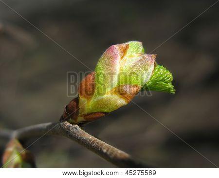 Spring. Melting elm bud