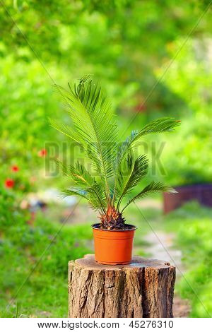 Potted Cycas Palm Plant On Colorful Garden Background