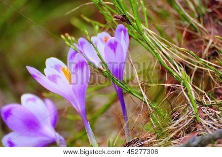 Spring Purple Crocus Sativus