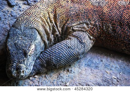 A giant Komodo dragon lying on a stony beach