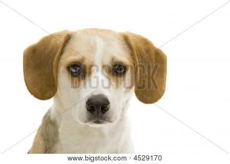 Retrato de Beagle