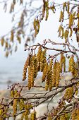 foto of alder-tree  - Catkins on an Alder Tree in Spring a close up - JPG
