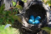 stock photo of robin bird  - Nest of Robin bird with Eggs inside built over the Cherry Tree Horizontal orientation - JPG