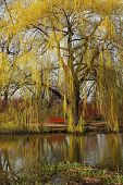 stock photo of weeping willow tree  - Weeping willow reflecting in a water with a seat to relax or enjoy the moment - JPG