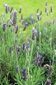 Lavandula Dentata Is A Species Of Lavender, One Of Several Species Known Also By Lavandula Stoechas. poster