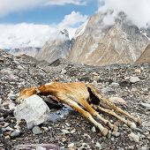foto of skardu  - Dead Pack Horse in the Karakorum Mountains Pakistan - JPG