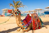 stock photo of dromedaries  - Camel resting in shadow on the beach of Hurghada - JPG
