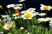 picture of tuberose  - Very beautiful daisies growing in the meadow - JPG