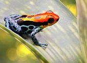 pic of exotic frog  - poison arrow frog bright red and blue - JPG