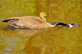 stock photo of mother goose  - A Canada goose gosling sitting in a pond with its mother pointing the way to go - JPG