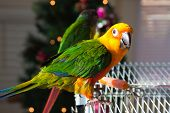 stock photo of parakeet  - Cute Sun Conure and Green Cheek Parakeet - JPG