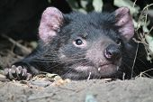 Tasmanian Devil Relaxing