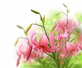 image of asiatic lily  - Beautiful asian pink lily flowers on white background it is isolated - JPG