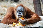 pic of orangutan  - Orangutan is being distracted from eating an orange - JPG