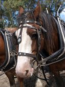 image of clydesdale  - Close up of a Clydesdale in working harness - JPG