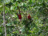 Two Green-winged Macaws In A Tree