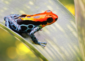 image of poison arrow frog  - poison arrow frog bright red and blue - JPG
