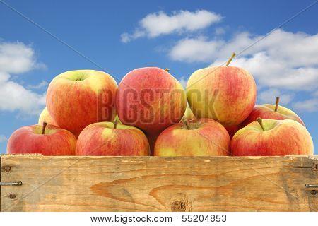 New Dutch apple variety called