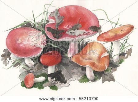 Mushroom Russula pulchra / Hand painted