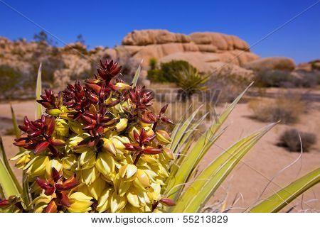 Yucca brevifolia flowers in Joshua Tree National Park California USA