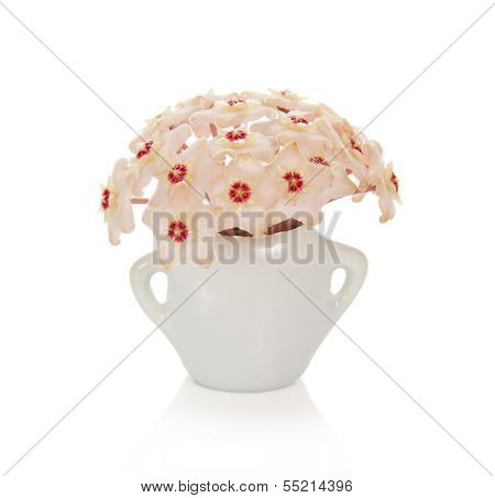 Bright asterisks of a wax ivy in the small vase