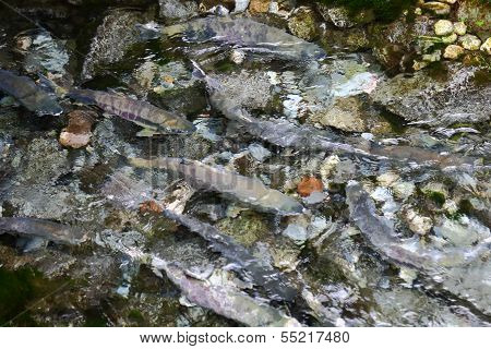 Salmon in Shallow Spawning Channel