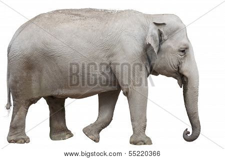 Isolated Asian Elephant