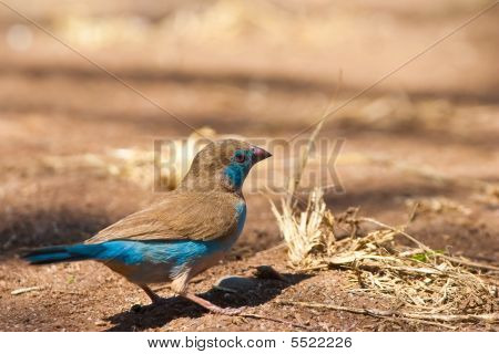 Blue Cordon-bleu Bird On The Ground