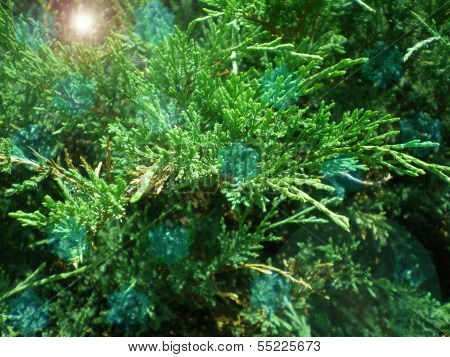 Branches Of A Coniferous Tree And A Solar Patch Of Light