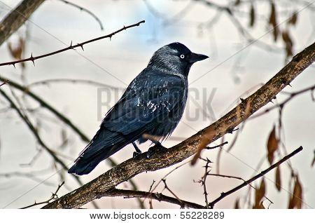 Wild Bird Crow