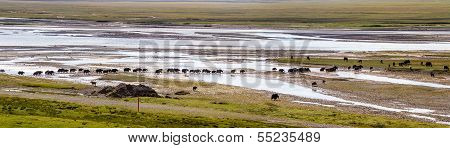 A yak herd walking through ponds and rivers in a highland