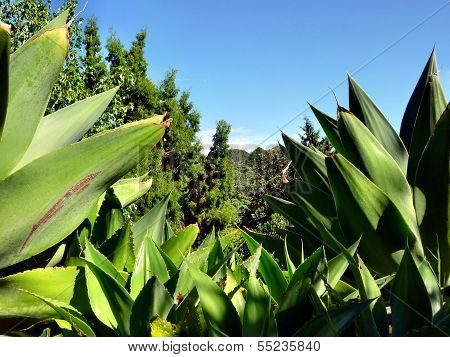 Succulent Plants With Trees In The Background