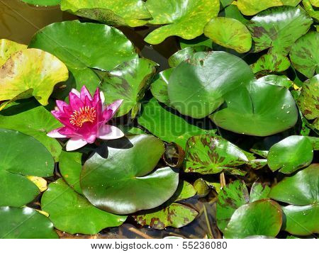 Water Lily With A Pink Blossom