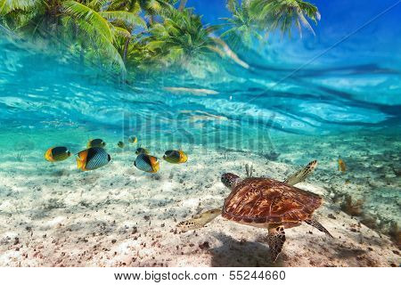 Green turtle swimming at tropical island of Caribbean Sea