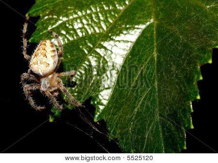 Spider On Leave