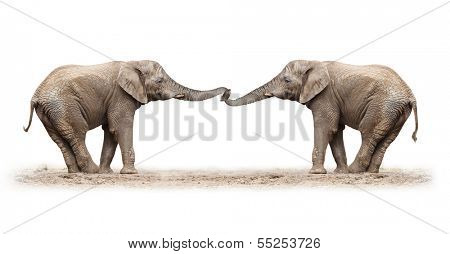 African elephants (Loxodonta africana) playing on a white background.