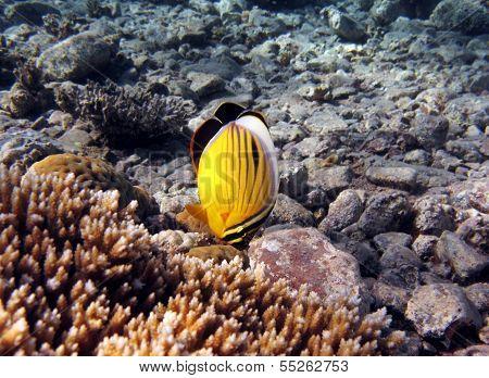 Crown Butteflyfish