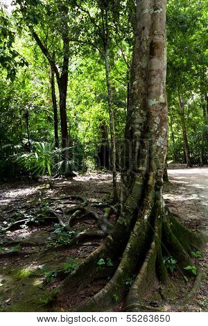 Tree In The Rain Forest