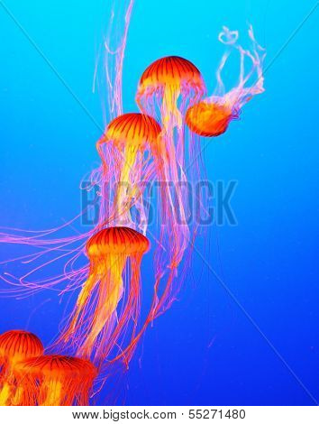 Several yellow-orange jellyfish with thin tentacles. Aquarium with bright blue water