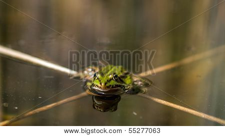 Edible Frog Sitting In The Waterline