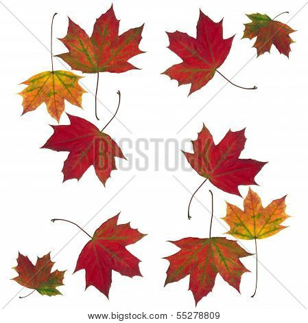 arrangement of multicolor leaves maple tree