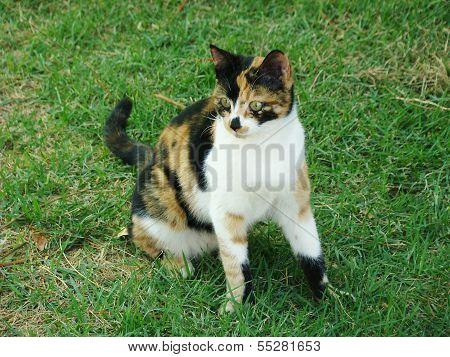 Cat tricolor