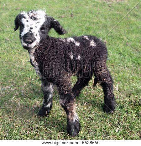 Day Old Black Lamb